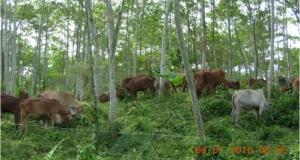 koeien-schaduw-falcata